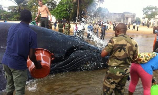 Vue de la baleine échouée ce mardi à Port Gentil