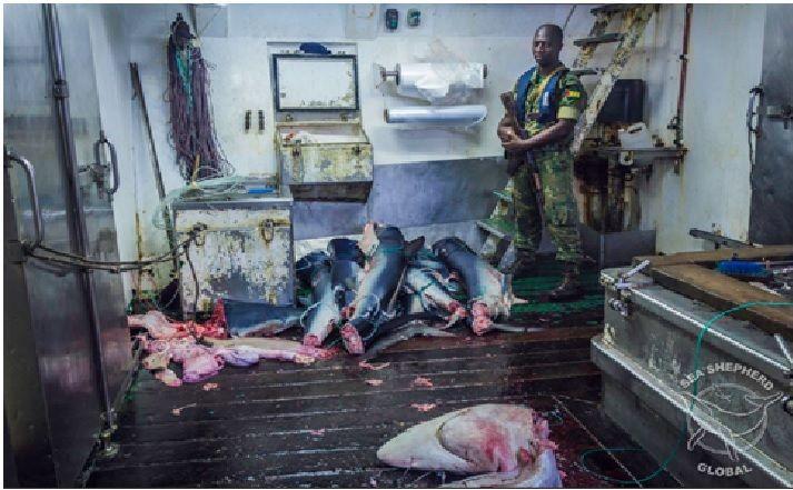 Soldat devant des corps découpés de requins
