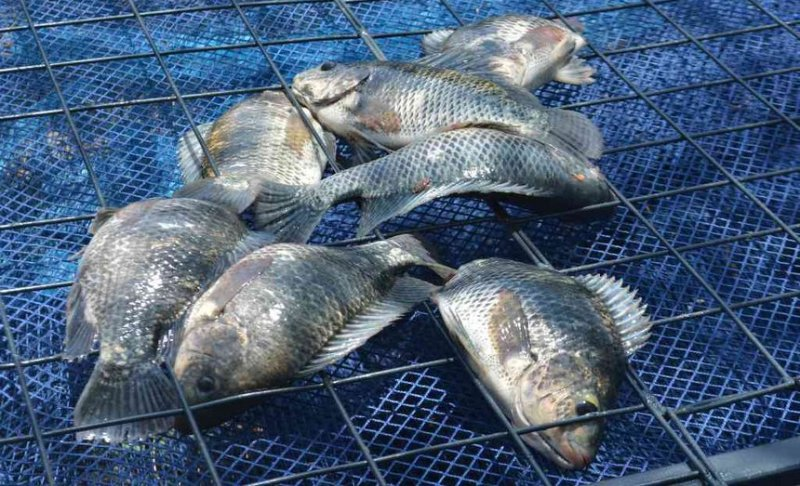 tilapia in cage