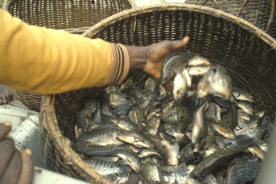 A woman using her hand to stir fish from a basket of tilapia fish. - tilapia markets