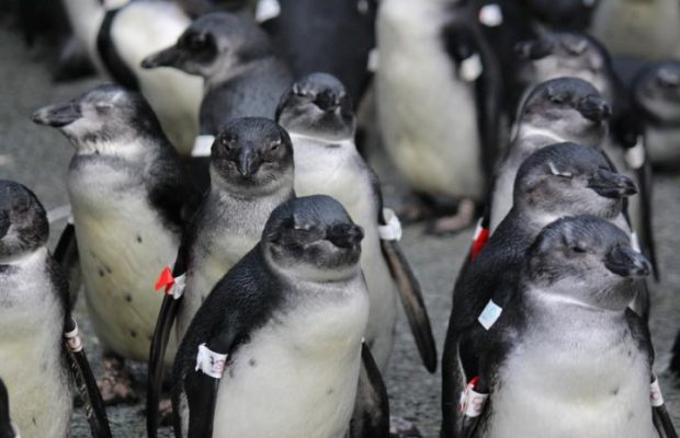 African penguins are being trapped by climate change says new research