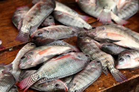 Freshly caught tilapia, Nigeria. Photo: Jeremy Weate