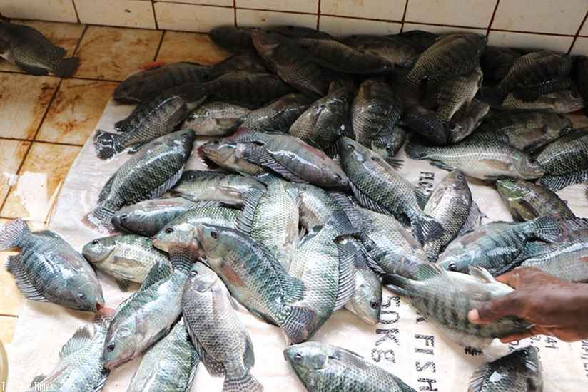 Rwanda - Fish harvested from cages by Jarama Cooperative in Ngoma District. File