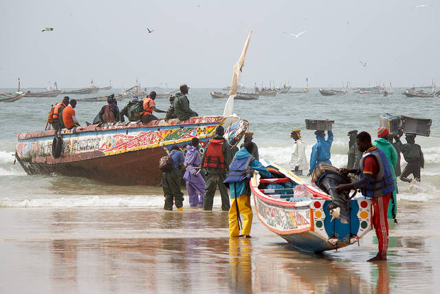 Photo by Toon van Dijk Due to increasingly meager catches, many traditionalist fishermen in Senegal and other countries along Africa's west coast seek out better employment in Europe or try to survive by adopting alternative livelihoods like hunting ocean bushmeat.