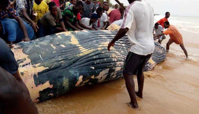 Togo: Une baleine morte échouée sur la plage d'Aného finit dans les assiettes