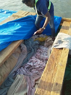 Ghana - The vessels contained fish that are below the approved size