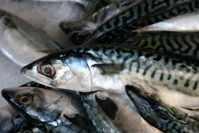 Nigeria mackerel