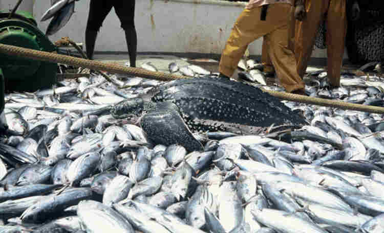 Nigeria - fish farming, Fish importation