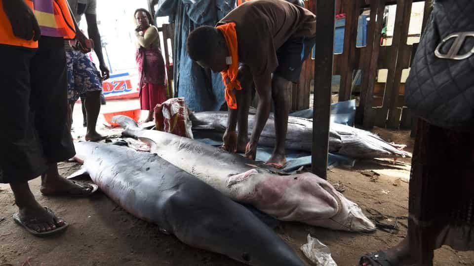 Des pêcheurs dévoilent les requins qu'ils ont pêchés dans un port d'Abidjan, en Côte d'Ivoire. Photo: Getty Images / SIA KAMBOU