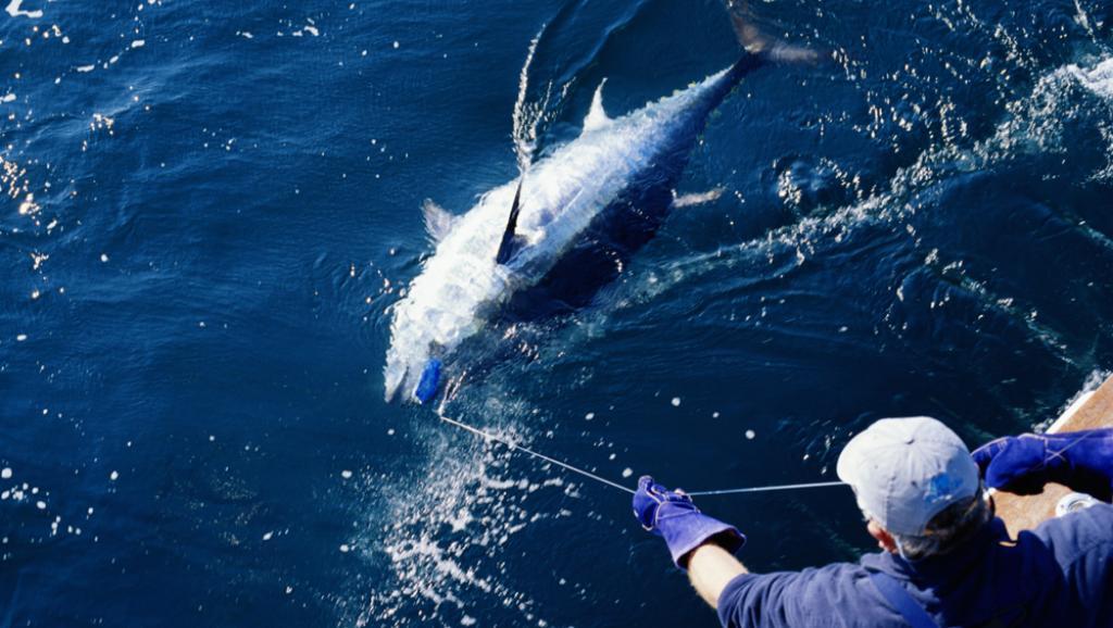 Un pêcheur remontant un thon rouge (Photo d'illustration) © Getty/Gary John Norman