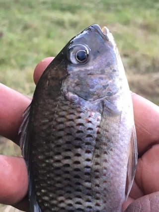 tilapia west africa