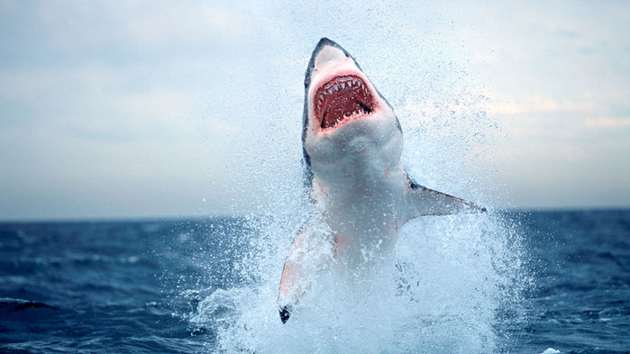 Great white sharks are gone from False Bay in South Africa. One theory holds that they were scared away by orcas. Chris and Monique Fallows/Minden Pictures
