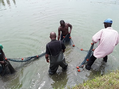 Ghana - The inmates harvesting the first stock of tilapia