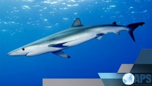 Requin-taupe-min