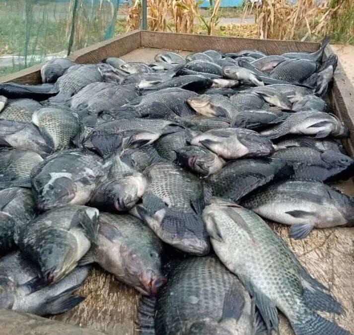 Ghana Nile tilapia