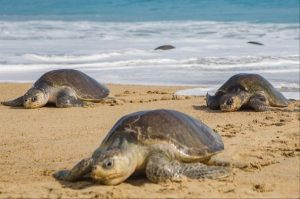 Togo - Tortues Marine - a la plage